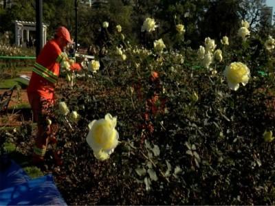 La Ciudad realizara un sorteo para repartir cien tallos de rosas del Rosedal de Palermo